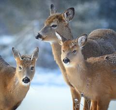The three amigos (melaniepalik) Tags: winter animals nature whitetail deer