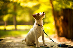 Looking Up (moaan) Tags: kobe hyogo japan jp dog jackrussellterrier kinoko wait waiting concentration bokeh dof utata 2016 leica mp leicamp type240 noctilux 50mm f10 leicanoctilux50mmf10