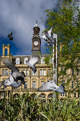 Leeds City Square, Pigeons take to the wing (SteveH65) Tags: sonyilce6000 samyang12mmf2 leeds citysquare pigeons