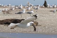 Yellow-legged Gull, Geelpootmeeuw, Larus cachinnans. (jwsteffelaar) Tags: geelpootmeeuw laruscachinnans yellowleggedgull