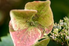 Welkende Hortensienblte - Withering hydrangea blossom (riesebusch) Tags: berlin garten marzahn