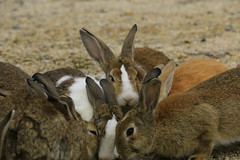 image (Rubia.A) Tags: 兎 うさぎ 大久野島 広島 okunoisland hiroshima japan rabbit rabbitisland