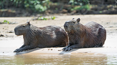 Two capybaras on the beach (Tambako the Jaguar) Tags: rodent capybara two couple lying resting beach river water wildanimal wild wildlife nature pantanal matogrosso brazil nikon d5