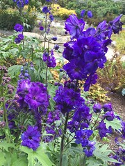 Pagan purples (st_asaph) Tags: larkspur delphinium paganpurples maine boothbayhorticulturalgardens