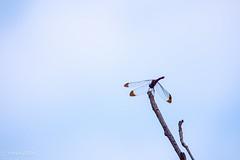 Dragonfly (Yorkey&Rin) Tags: 10月 2016 autumn bluesky dragonfly em5 japan machida october olympus olympusm75300mmf4867ii rin ta022264 tokyo yakushiikekouen トンボ゙ 秋 青空 町田市 東京都 薬師池公園