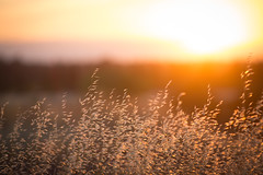 Last Rays (Philocycler) Tags: grass golden sunset light beauty northerncalifornia foothills chico buttecounty illumination depthoffield canon canon5dmarkiii ef200mmf28liiusm evening