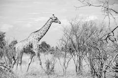 Giraffe (Peter J Moore) Tags: beautifulworldchallenges