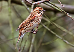 """reed bunting (f) ("""" yer tis my ansome """") Tags: nature birds canon reeds wings wildlife devon exeter marsh westcountry passeriformes lserieslenses reedbunting emberizaschoeniclus britishbirds exeestuary devonwildlife exeterdevon ukbirds exminstermarshes canon7d canon300mmf28lisusm sniper01 mygearandme mygearandmepremium wildlifeindevon flickrgrayclements picturestakenwithcanon7d canon14mk111tc"""