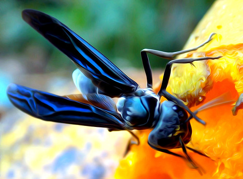 The Wasp / A Vespa ou Marimbondo (Fabianni L. Ribeiro) macro wasp insects