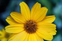Bright Eyed (Julie Raccuglia) Tags: naturaleza flower nature yellow garden happy petals colorful flor jardin happiness felicidad feliz amarilla petalos