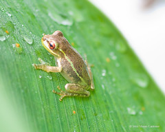 Frog (Jerri Moon Cantone) Tags: macro green drops amphibian frog waterdrops