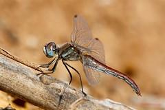 Sympetrum fonscolombii - Andromorph female ( BlezSP) Tags: islands dragonflies canarias gran canary canaria damselflies odonata libelulas