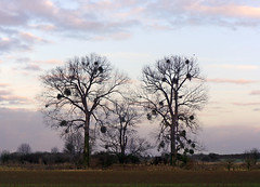 Bare branches (*Gitpix*) Tags: trees winter sky cloud tree nature clouds germany landscape geotagged deutschland ast branch bare branches sony details natur january himmel wolke wolken mistletoe raven dsseldorf ste landschaft bume baum deu nordrheinwestfalen ravens januar rabe misteln kahl raben barebranches naturschutzgebiet mistel himmelgeist naturereverse kahleste sonynex7 geo:lat=5116356168 geo:lon=680761813