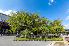 Old Ginkgo Tree  (olvwu | ) Tags: tree japan landscape temple japanese ginkgo kyoto buddhist historic oldtree   maidenhairtree honganji  nishihonganji historicsite historicbuilding kyotocity   jungpangwu oliverwu oliverjpwu  purelandbuddhism ginkgoaceae kyotoprefecture olvwu  jungpang westerntempleoftheoriginalvow onissan ginkgoboiloba
