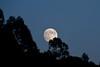 TIMIDA (Lace1952) Tags: alberi elba estate luna sera isola timida capoliveri nikkor18200vr nikond7000