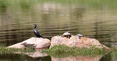 After the flood (mgjefferies) Tags: creek flood turtle australia pot queensland cormorant quart stanthorpe mgjefferies