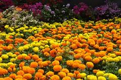 May flowers always line your path and sunshine light your day. (-Reji) Tags: flowers light love sunshine way nikon path january line flowershow d90 january13 flowerpath rejik
