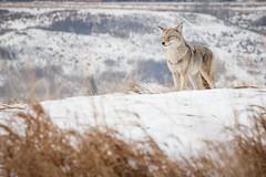 Wile E (devel_) Tags: coyote winter snow canada calgary ice grass yellow dead ab alberta 2013 31365