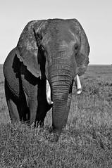 Elephant at the Serrengeti National Park, Tanzania (tommcshanephotography) Tags: africa travel elephant nature tanzania wildlife safari serengeti bigfive masaiwarriors masaitribe easternafrica ngorngorocrater tommcshanephotography