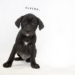 Elvira the 8 week old Black Labrador mix (Immature Animals) Tags: portrait blackandwhite rescue baby black animal puppy square lab labrador ears marshall derek bark pup paws tilt tilted artland elvira koalition derekmarshall barktucson