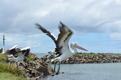 Pelicans (timmafee0) Tags: wall fly break head wildlife pelican harrington crowdy
