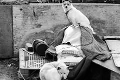 Watch Dog (Jarrett_Hunt) Tags: bw dog white black nikon takumar f25 135mm nikond7000
