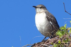 Northern Mockingbird (George Case, Kountry Roads Imaging) Tags: nature birds nikon case bradenton manateecounty nikkor70300mm kountryroadsimaging d7000 manateecountynaturalresources nikond7000 nealpreserve georgecase