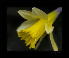 A beginning...                                         [Explore 2013-02-07] (jimf_29605) Tags: flowers southcarolina sigma olympus frontyard greenville daffodils fa e5 105mm olympus14xteleconverter