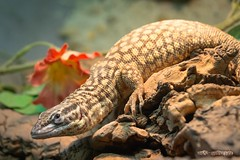 Stachelschwanzwaran / Ridge-Tailed Monitor (burnett0305 - Thanks for over 175.000 views!) Tags: macro canon bayern bavaria makro reptiles monitorlizard waran reptilia varanus reptilien varanidae warane squamata ausrstung zwischenring spinytailedmonitor ridgetailedmonitor obertraubling landkreisregensburg canonef70200mmf4lisusm varanusacanthurus schuppenkriechtiere tubeextension scaledreptiles canoneos5dmarkiii stachelschwanzwaran fotokategorie ackiesdwarfmonitor reptilienzooobertraubling