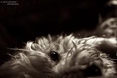 Entspannt (buchsammy) Tags: bw dog canon 50mm klein hund ralf sw bichon 18 schlafen mika auge haustier tier stimmungsvoll schlafzimmer havanese bitzer langhaar besterfreund mude buchsammy hufingen dos7d