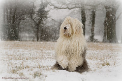 He How do you think my impression of a mean polar Icebear is ? (dewollewei) Tags: bear winter oldenglishsheepdog oldenglishsheepdogs dewollewei sophieandsarah sweetexpressions sophieensarah