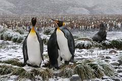 An Uneasy Existence (pdxsafariguy) Tags: snow bird grass penguin mud wildlife seal remote southgeorgia tussock salisburyplain ecotourism furseal tomschwabel kingpenguin aptenodytespatagonicus subantarctic antarcticfurseal arctocephalusgazella