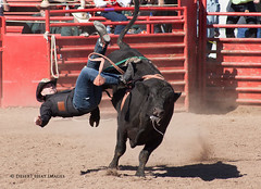 IMG_2197 (DesertHeatImages) Tags: arizona men phoenix cowboys women boots wrestling hats lgbt rodeo poles steer cowgirls bullriding regional roadrunner 2013