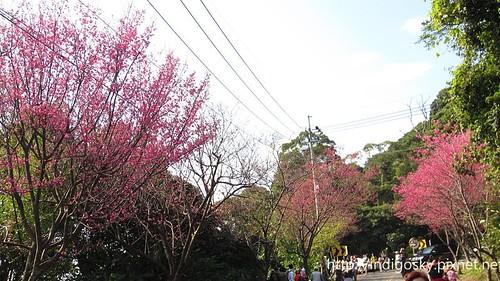 北投賞櫻-IMG_8470