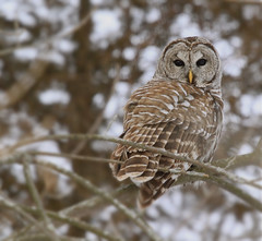 Barred Owl at the End of the Day (Leslie Abram) Tags: winter ontario canada bird canon wildlife owl barredowl presquilepark