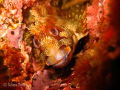Parablennius gattorugine (susanamart) Tags: portugal underwater mergulho scuba scubadiving sesimbra underwaterphotography uwp fotosub parablenniusgattorugine canonixus80is jardimdasgorgnias