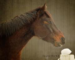 Profil chevalin (~ G I R a R D I - P H O T O G R a P H I E ~) Tags: horse texture cheval nikon profile stable brun profil curie florabella d7000