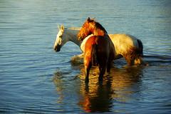 Na folga dos pingos... (Eduardo Amorim) Tags: sunset brazil horses horse southamerica field gua brasil criollo caballo cheval atarde