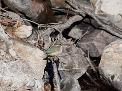 (Polotaro) Tags: bird nature pen olympus kingfisher  zuiko ep1        fzuiko300mmf45