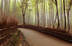 Kyoto - Bamboo Gardens (Mitchelton) Tags: japan kyoto bamboo