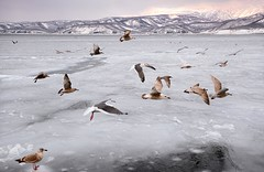 s AT DSC_6647 (Andrew JK Tan) Tags: ice japan hokkaido gulls icedrift
