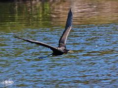 Australian Darter (Rodger1943) Tags: lumix birdsinflight darter australianbirds faunainmotion fz200