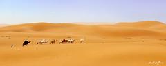 ( ibrahim) Tags: sky panorama sun nature clouds sunrise canon landscape photography eos sand desert camel drought sands  ibrahim abdullah        50d         canon50d  altamimi   alyahya               almethnab