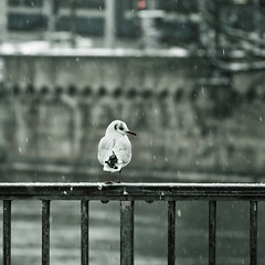 Alone in The Snow (migajiro) Tags: seagull sony zurich gaviota nevando nex migajiro ltytr1 nex7 sel18200