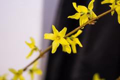 Forsythia (MiriaGrunick) Tags: flowers newyork flower yellow unitedstates yellowflower forsythia