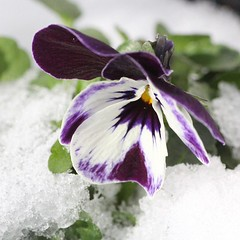 berleben... (Gytha69) Tags: winter snow cold color macro germany square pansy squareformat mygarden pansies iphoneography instagramapp
