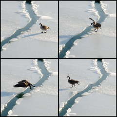 One giant leap for Goose kind. (Andy Marfia) Tags: winter chicago ice fly jump melting iso400 goose crack uptown hop f8 montroseharbor tetraptych 11600sec 1685mm d7000