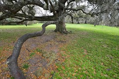 Spanish Moss, Live Oak and Rains