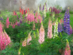 A Yard of Lupine (CopperblueStudio) Tags: pink flowers blue color art leaves yard garden painting spring purple digitalpainting wacom lupine corel painter12