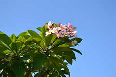 Plumeria (sammy.manson) Tags: blue summer sky flower tree leaves gardens botanical petals frangipanis